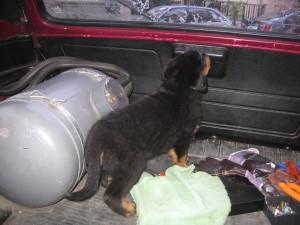 Ротвайлерче в багажника на Лада Нива